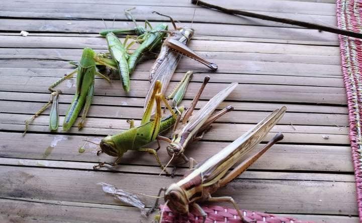 ပူတာအို လုံရှာယန်ကျေးရွာတွင် တောင်ယာစပါးများကို ကျိုင်းကောင်များ ဖျက်ဆီးခဲ့သဖြင့် ဒေသခံများ အခက်ကြုံ
